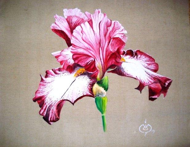Iris fushia (75/75)